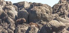Seals on rocks-1.jpg (Ran Valentine) Tags: seals