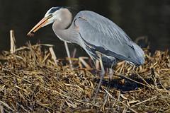 Grand Héron / Great Blue Heron (anjoudiscus) Tags: roseange d800 nikkor300mmf4epf tc14 grandhéron greatblueheron ardeaherodias héron heron oiseau bird nature jardinbotanique montréal avril 2018