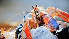 Hermit Crab (Mary Faith.) Tags: hermit crab macro closeup sea shell aquarium