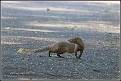 7839 - mongoose (chandrasekaran a 49 lakhs views Thanks to all.) Tags: mongoose greymongoose mammals nature india chennai canoneos80d tamronsp150600mmg2