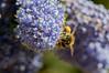 Abeille JDP 27/04/2018 (sebastienpeguillou) Tags: abeille bee abeja flower plante fleur
