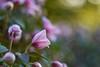 Clematis (agnieszka.a.morawska) Tags: kwiat flower manualfocus manuallens helios44m helios macro dof bkhq clematis wiosna spring beyondbokeh bokeh bokehlicious