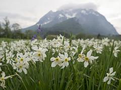 P5040064 (turbok) Tags: blauviolett blütenweis narzisse pflanze weisenarzissenarcissuspoeticus wildblumen wildpflanzen c kurt krimberger