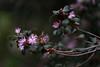At last (Explored) (hehaden) Tags: shrub flowers pink garden bordehill sussex spring