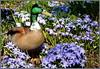 Sternchenblau im Park ... (Kindergartenkinder) Tags: blausternchen ente wasservogel park kindergartenkinder