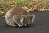 Thirsty Koala (stevecart84) Tags: koala road rain thirsty nature anim marsupial outdoors wildlife nikon d7200
