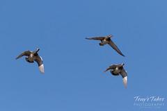 March 27, 2018 - Gadwall Ducks in flight