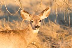 Mule Deer doe in the golden morning light