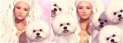 Blush Event <3 (♥ Stasey Oller ♥ [Black Bantam]) Tags: black bantam pink acid blush event bichon frise dog doggies puppies animals pets