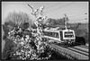 "Monochrome Blossoms ("" Wiener Schule "") Tags: öbb oebb obb 4020 austria emu sbahn schnellbahn commuter train railway railroad eisenbahn"