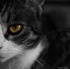 Meow (LamiaDeTenebris) Tags: cat katze eye auge bw sw blackandwhite blackwhite schwarzundweis schwarzweis חתולה חתול שחורלבן שחורולבן