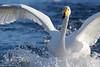 Sangsvane - Whooper swan (Maren Fredagsvik) Tags: sangsvane svane swan whooperswan fugler fugl birds bird waterbirds øvreleirfoss leirfossen leira trondheim trøndelag trondelag norge norway