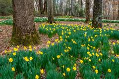 Athens, Georgia (Jon Ariel) Tags: statebotanicalgardensofgeorgia athens georgia ga northgeorgia garden gardens daffodils flowers