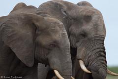 Buddies (leendert3) Tags: leonmolenaar southafrica krugernationalpark nature wildlife africanelephant mammals coth5 ngc npc