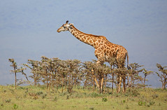 Giraffe (ashockenberry) Tags: giraffe nature naturephotography national park game reserve habitat herbivore africa ashleyhockenberryphotography african animal tanzania travel tourism safari savanna serengeti long neck beautiful majestic eco grassland wildlife wildlifephotography wild wilderness graze towering mammal