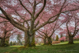 Cherry Blossoms - Vancouver, Canada