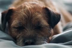 Resting Dog (Tmber92) Tags: minolta prime 100mm dog pet sleep animal boarder terrier border