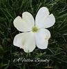 A Fallen Beauty (snow41) Tags: grass macro text garden dogwood fallen beauty blossom white
