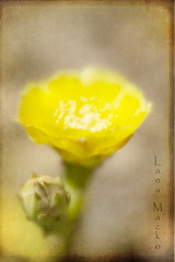 prickly (LanaScape Photos) Tags: typical alt cactus prickly pricklypear alabama overlay lensbaby flower