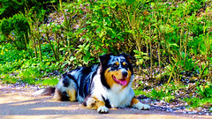 Australian Shepherd (obscure.atmosphere) Tags: licht light ligero lumiere 光 빛 frühling spring primavera printemps 春 봄 deutschland germany hamburg natur nature naturista naturaleza 自然 자연 wald forest bosque selva foret 森林 숲 woods dog hund chien australian shepherd young jung hond كلب 狗 hundo koira σκύλοσ कुत्ता anjing cane 犬 개 pies собака пас perro สุนัข köpek pes chó inja landscape landschaft paisajes region paysage 景色 의풍경 gebüsch bush sun sunny sonne sunshine 日 태양 sunlight cherry blossom