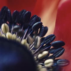 In fire! (Kathy M photography) Tags: flower macro macroflower macroart nature red macrolens sony 7dwfmacro 7dwf