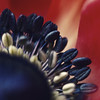 In fire! (Kathy M photography) Tags: flower macro macroflower macroart nature red macrolens sony