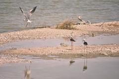 Homeless Birds (ItalianCandy) Tags: bird birdwatching sobek fayoum egypt water lake sand beauty minimalism momentum nature