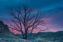 High desert tree at last light (Browtine1) Tags: tree blm sunset sunrise silhouette high desert canon 5d landscape pink sky