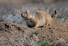 Black-tailed prairie dog (fascinationwildlife) Tags: animal mammal wild wildlife nature natur national park refuge nwr rocky mountain arsenal nationalpark black tailed prairie dog den spring colorado usa america präriehund