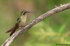 Female Rivoli's Hummingbird (Eugenes fulgens) - Portal, AZ (bcbirdergirl) Tags: rivolis portal az us usa rivolishummingbird female adult southwesternresearchstation cochisecounty eugenesfulgens