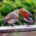 Robin Feeding Her Chick thumbnail