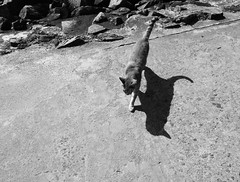 The shadow !!! (François Tomasi) Tags: chat cat monochrome blackandwhite noiretblanc ombre shadow justedutalent yahoo google flickr françoistomasi tomasiphotography charentemaritime sudouest france french europe lights light iso digital numérique photo photographie photography photoshop filtre mai 2018 reflex nikon pointdevue pointofview pov