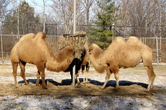 Brookfield Zoo (Tiger_Jack) Tags: brookfieldzoo zoo zoos zoosofnorthamerica itsazoooutthere camel camels