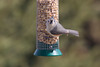 Looking at Each Other: Tufted Titmouse (marylea) Tags: mar24 2018 birds tuftedtitmouse titmouse birdfeeder bird washtenawcounty michigan