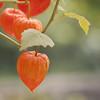 Lampions d'une autre saison -* (Titole) Tags: physalis orange titole nicolefaton squareformat groundcherry thechallengefactory unanimouswinner