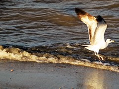 Safe landing (thomasgorman1) Tags: bird gull seagull shore beach water tide sand nature outdoors canon wings wingspan baja cortez mx mexico sea ocean