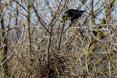 Rook nest-building (Steve Balcombe) Tags: bird corvid rook corvus frugilegus black nest twigs rookery somerset uk