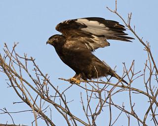 Rough-legged Hawk (dark morph) - Cass county, central Illinois