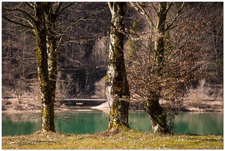 Green water and old trees