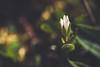 Tiny white flower (Chloé +++) Tags: flower fleur flowers fleurs white macro bokeh blanc leaf leaves yellow jaune feuilles green vert nature natur naturel natural outside forest forêt pétales blossom spring printemps canon eos eos400d france occitanie