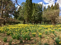 Cylburn Arboretum ~ going Daffy (karma (Karen)) Tags: baltimore maryland cylburnarboretum parks trees flowers daffodils cmwd