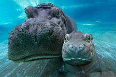 Hippos Funani and Tony (San Diego Zoo Global) Tags: hippo hippos babyhippo river cute baby babyanimals underwater swimming san diego sandiego sandiegozo adorable wildlife smile cuteanimals
