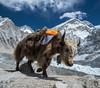 Yak! (Nik Bruining - www.reverse-lens.com) Tags: yak everest base camp himalaya nepal
