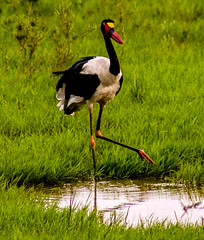 The water is cold (khelan919) Tags: saddlebilledstork nairobinationalpark wildlife wildlifephotography wildlifeafrica birds birdsoftheworld nature