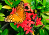 Greenlife Beauty (LeoMuse747) Tags: butterfly garden flower macro nature beauty color photo photography stunning nikon d5100 nikkor 18105mm vr camera lens dslr image leomuse747 yard plant plants green greenlife lepidoptera insect wings brasil brazil brazilian