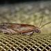 Eucosma cana - Hoary bell - Глазковая листовёртка бодяковая