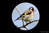 Chardonneret élégant Carduelis carduelis (7) (Ezzo33) Tags: france gironde nouvelleaquitaine bordeaux ezzo33 nammour ezzat sony rx10m3 parc jardin oiseau oiseaux bird birds goldfinche chardonneret élégant carduelis