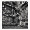 Ent II (Andre Kurenbach) Tags: 6x6 fp4 ilford rodinal zenzabronica zenzanons sqa 150mm lord rings ent tree mystic medium format