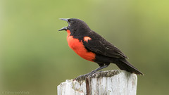 Singing aloud... (Glenn van Windt) Tags: sturnellamilitaris redbreastedmeadowlark zwartkopsoldatenspreeuw rediborsu aves bird vogel lark leeuwerik nature natuur suriname canonef300mmf28lisusm