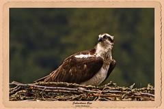JRj-18-7988cs (john_robson) Tags: osprey2018 pittlake bccanada